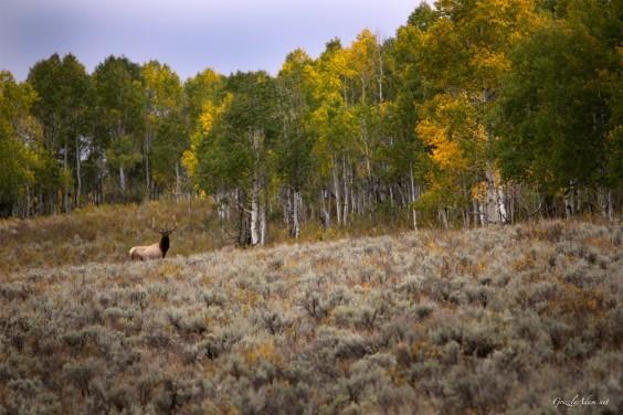 Utah Autumn Elk