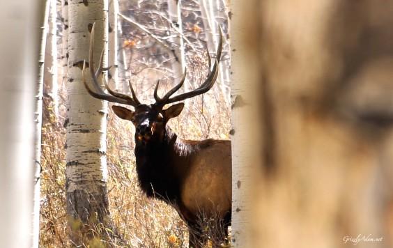 Utah Elk
